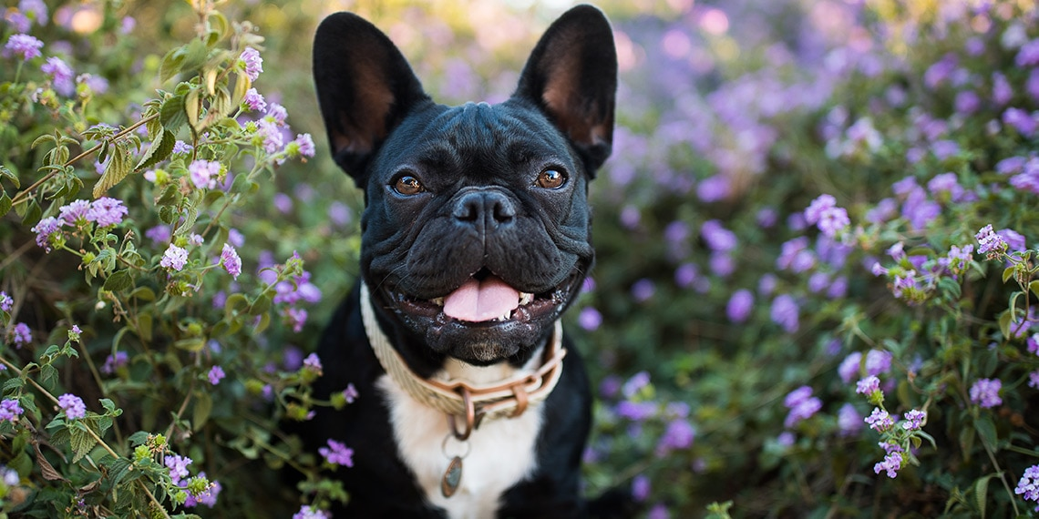 Adorable dog surrounded by purple flowers.